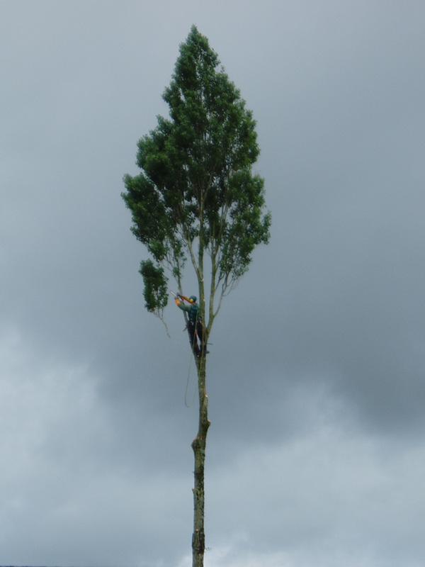 Elagage abattage difficile taille et soin des arbres for Prix de l elagage d un arbre